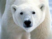 Polar Animals :